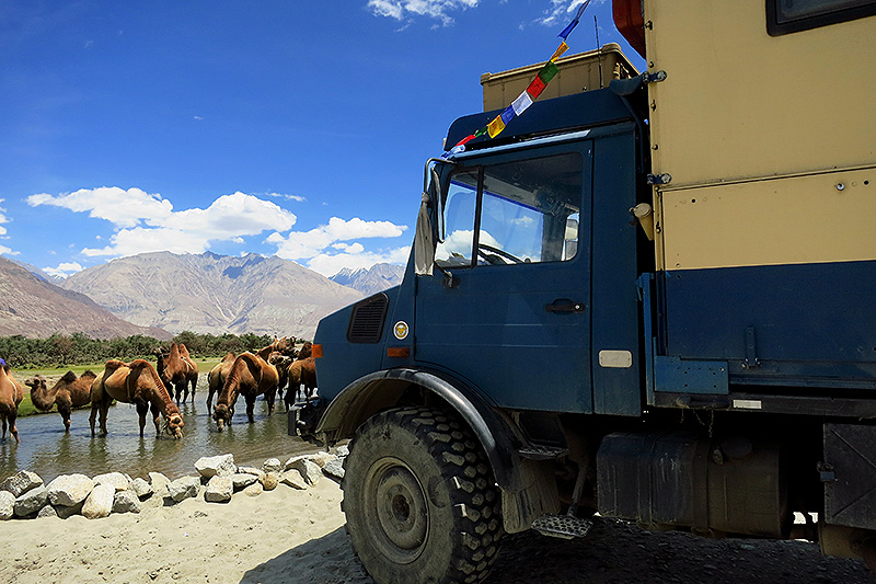 Camels in Nubra Valley